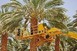 Date harvest in Israel