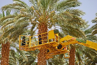 Agriculture in Israel - Date harvest in Israel