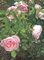 Rose Morris >> Garden roses - Wikipedia