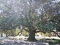 DeFuniak Springs Hist Dist CD0350 magnolia01.jpg