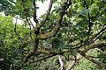 Dead branches Woodland Trust wood Theydon Bois Essex England 01.JPG
