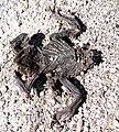 Dead frog in Slovenia.jpg