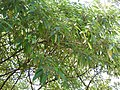 Debregeasia longifolia-1-cauvery peak-yercaud-salem-India.jpg