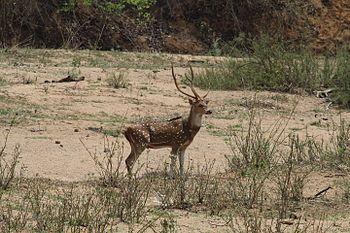Deer at Sitanadi Wildlife Sanctuary of Chattisgharh.jpg