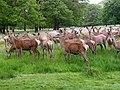 Deer in Richmond Park - geograph.org.uk - 587439.jpg