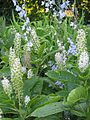 Delphinium carolinianum & Phytolacca acinosa (9236798595).jpg