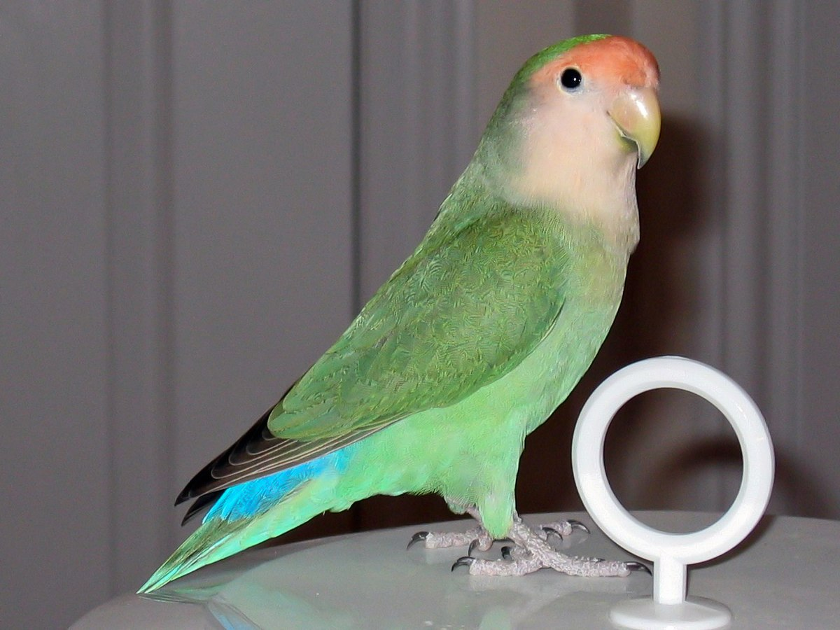 Citaten Love Bird : Rosy faced lovebird colour genetics wikipedia