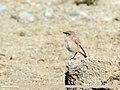 Desert Wheatear (Oenanthe deserti) (29321245954).jpg