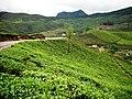 Devikulam beautiful Tea Plantations - panoramio (3).jpg