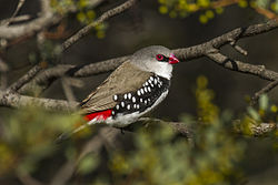 Diamond Firetail - Little Desert NP - Victoria MG 5065 (22198627599).jpg