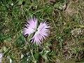 Dianthus hyssopifolius.JPG