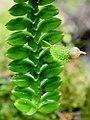 Dichaea laxa (Orchidaceae) (29638461163) - cropped.jpg