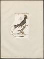 Dicrurus malabaricus - 1700-1880 - Print - Iconographia Zoologica - Special Collections University of Amsterdam - UBA01 IZ16400107.tif