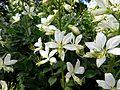 Dictamnus albus 'Albiflorus' 02.JPG