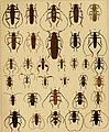 Die exotischen Käfer in Wort und Bild (1908) (20903854532).jpg
