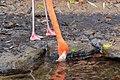 Dierenpark Emmen Flamingo (10930400254).jpg