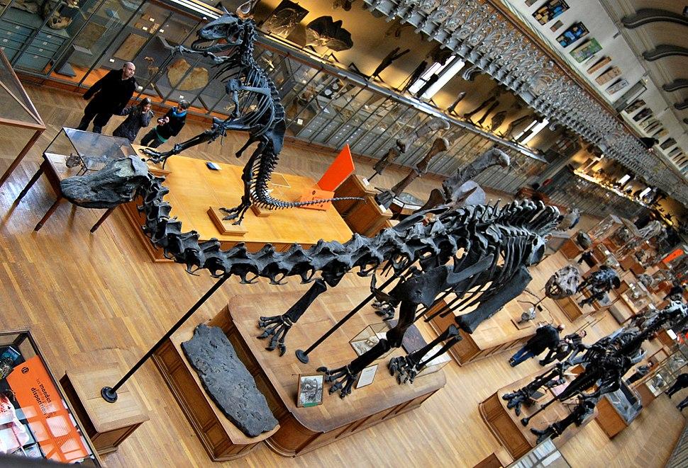 Diplodocus paris