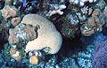 Diploria labyrinthiformis (grooved brain coral) (San Salvador Island, Bahamas) 2 (15945999880).jpg