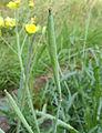 Diplotaxis tenuifolia siliques, wilde rucola hauw (1).jpg
