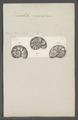Discorbites vesicularis - - Print - Iconographia Zoologica - Special Collections University of Amsterdam - UBAINV0274 113 04 0023.tif