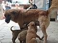 Dog feeding milk.jpg