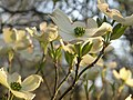 Dogwood-blossoms1.jpg