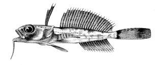 Artedidraconidae family of fishes