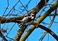 Downy woodpecker (32017498556).jpg