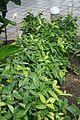 Dracaena Surculos-Afrcia Tropical (1) (11983935006).jpg