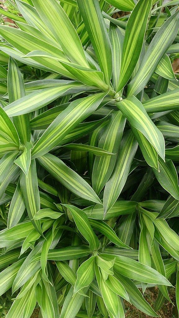 Dracaena reflexa  Wikispecies