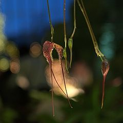 Dracula wallisii at Kiseki No Hoshi Greenhouse, Japan.jpg