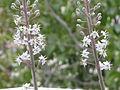 Drimia maritima-blooming-Jerusalem.jpg