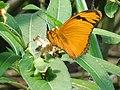 Dryas iulia ( Insecta ).jpg