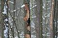 Dryocopus martius in the Teufelsbruch 2021-02-10 04.jpg