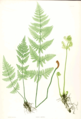 Dryopteris carthusiana Moore21.png