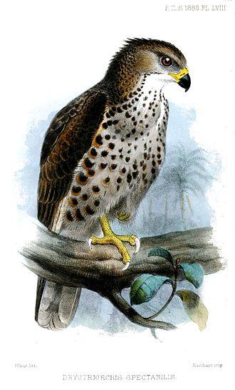 Congo serpent eagle - Image: Dryotriorchis Spectabilis Smit