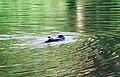 Duck (104454907).jpeg