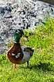 Duck (42348691331).jpg