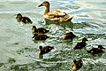Ducklings - Stanborough Lakes (17582634868).jpg