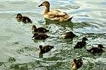 Ducklings - Stanborough Lakes (17582634868).jpg