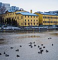 Ducks in Aura river with Manilla in background.jpg