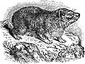 EB1911 Hyracoidea Fig. 1.—The Cape Hyrax (Procavia capensis).jpg