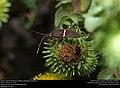 Eastern Leaf-footed Bug (Coreidae, Leptoglossus phyllopus) (29596759883).jpg