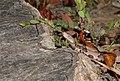Eastern copperhead - Agkistrodon contortrix (42669141050).jpg