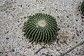 Echinocactus Grusonii-Mexico (1) (11983491974) (2).jpg