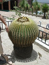 Echinocactusgrusonii