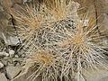 Echinocereus stramineus (5669427816).jpg