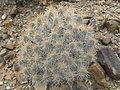 Echinocereus stramineus (5684289493).jpg