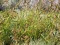 Echinochloa crusgalli (3874829390).jpg