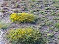 Echinospartum boissieri Habitat 2009-7-25 SierraNevada.jpg